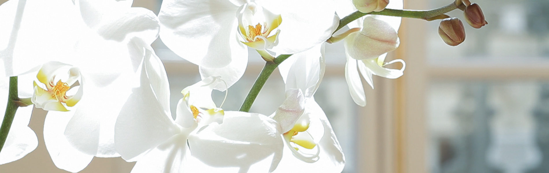 Orchidee translucide Lumiere